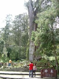 El árbol sagrado de más de 2800 años de antiguedad.