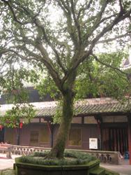 Unos de los dos árboles de osmanto del templo.