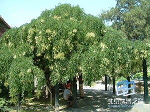 Guohuai, el árbol representativo de la ciudad de Pekín
