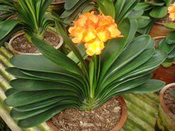 Junvilan, flor reprensentativa de las ciudad de Changchun en Manchuria, China